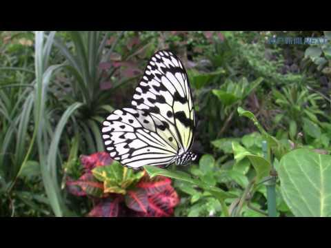温室で舞うチョウ 伊丹市昆虫館