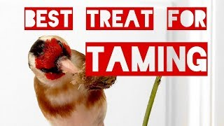 A Goldfinch's Favourite Food – THE best treat for taming!