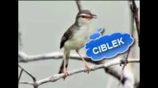 Kicau Ciblek Pari Ciblek Sawah Kemriwik Video