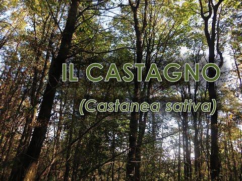 Castagno (Castanea sativa)