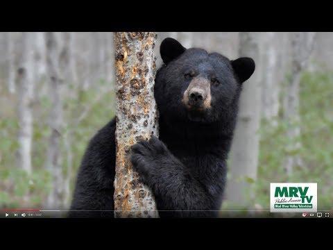 Vermont's Black Bears