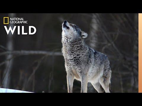 Wolves 101   Nat Geo Wild