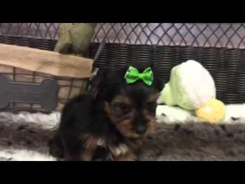 Such A Little Stud! Spunky Male Yorkie!