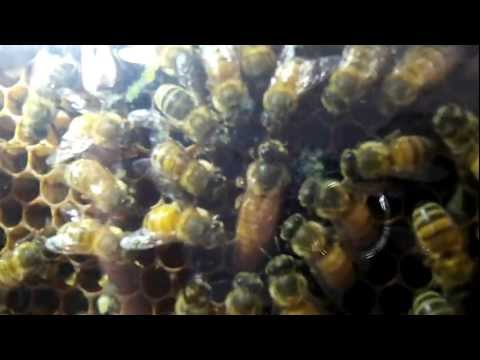 Urban Beekeeping: More Oberservation Hive/ Queen Bee Footage