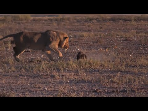 Male lion sneaks up on a honeybadger