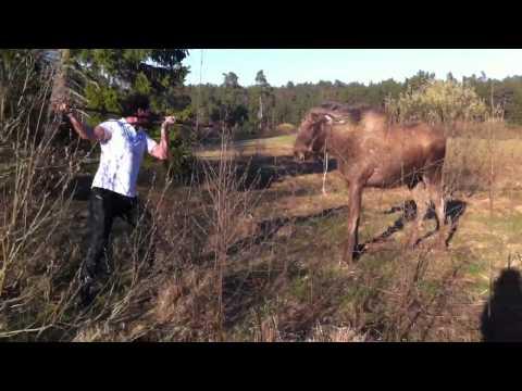 Man VS Moose! Hahahahaha!!!!