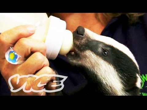 badger - Meet a couple of sweet and mischievous baby badgers at the Secret World Rehabilitation Wildlife Centre in the English countryside for jam sandwiches and bott...