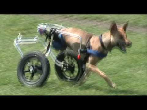 Popeye the 2-Legged Dog Runs Like the Wind in his Doggon ...