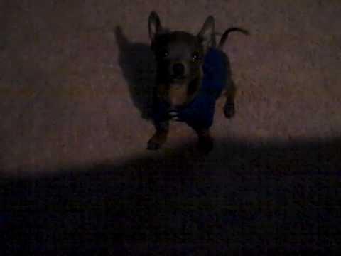 Cute Chihuahua Barking