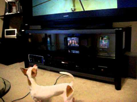 Chihuahua barking at Youtube video.