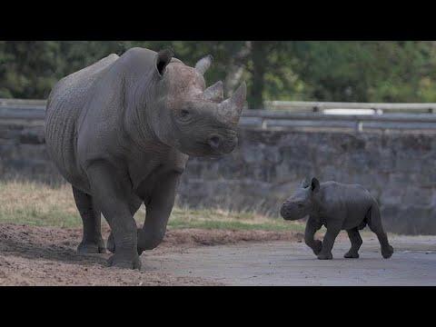 Nashörnchen im Zoo Chester erkundet die Welt