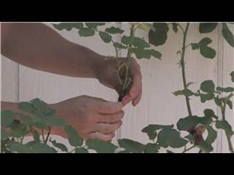 Rose Gardening : How to Graft Rose Plants