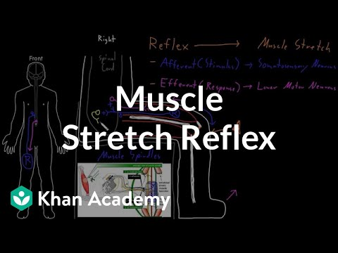 stretch reflex - The parts and process of the muscle stretch reflex as an example of nervous system reflexes. More free lessons at: http://www.khanacademy.org/video?v=Ya-3XHB...