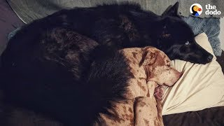 Woman With 2 Pit Bulls Takes A Chance On A Rescued Wolf Dog | The Dodo by The Dodo