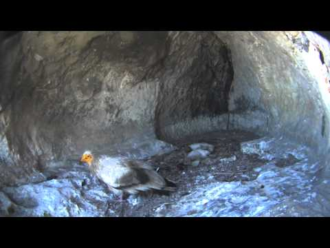 Young Egyptian vultures in the nest with the webcam - 2014
