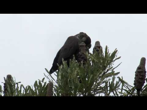 Short-billed or Carnaby's Black-cockatoo feeding