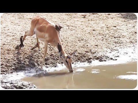 غزال يتحدي قبضة تمساح