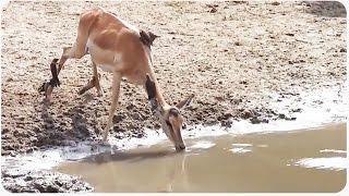 Close Call With Crocodile - One Lucky Impala!