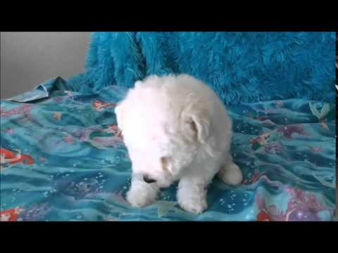 Giggles - male Bichon Frise