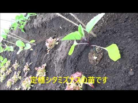 2017年度 ナスと唐辛子類の定植