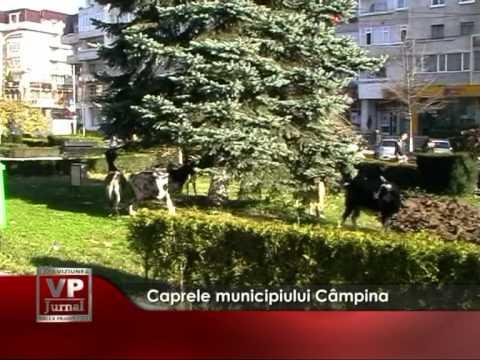 Caprele municipiului Câmpina