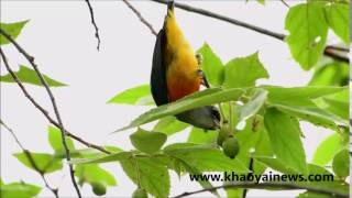 orange bellied flowerpecker