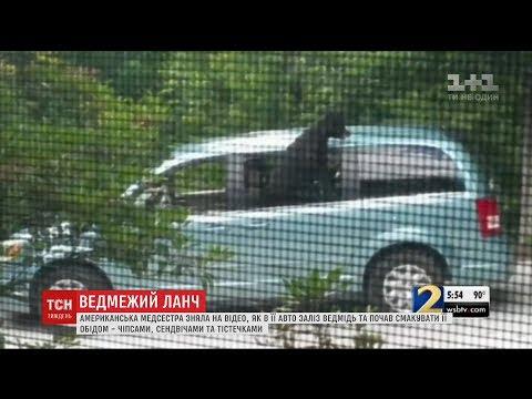 У США медсестра зняла на відео, як в її авто заліз ведмідь і з'їв чіпси та сендвіч онлайн видео