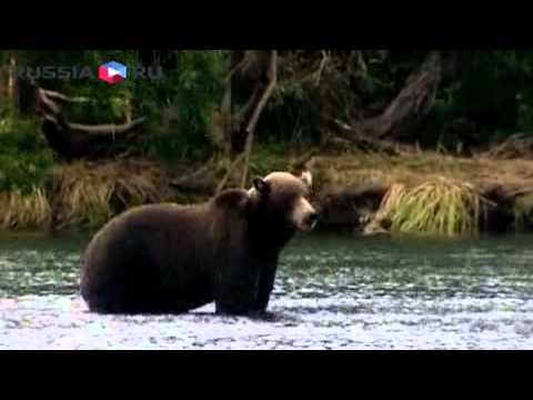 Путин на медвежьей рыбалке (видео)