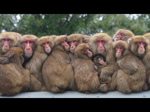 体寄せ合い「サル団子」 淡路島モンキーセンター