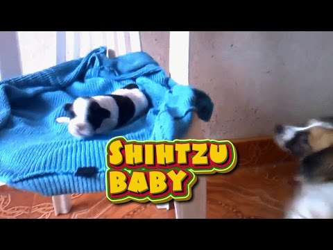 SHIHTZU PUPPY CARE BY THEIR PARENTS / SHIH TZU CACHORRO  DE 7 DIAS DE NACIDO
