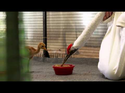 Whooping - NFWF-supported projects save the endangered whooping crane from extinction. In the 1940s, whooping cranes were almost extinct. But they're beginning to come ...