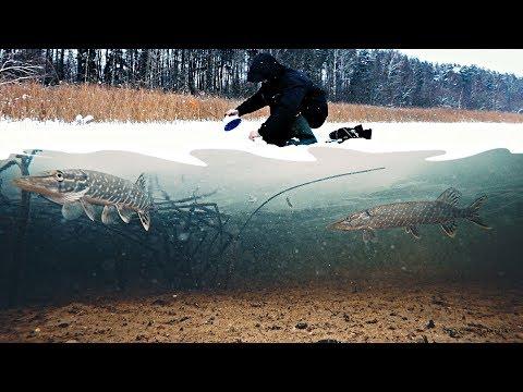 Подводная съемка. Атака щуки и ондатры на плотву