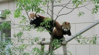 Fukuchiyama Japan  city images : #6 Oct 2016 Red Panda at Fukuchiyama zoo, Kyoto, Japan