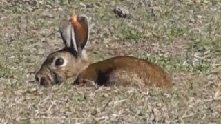 Video Bowhunting rabbits HEADSHOTS MP3, 3GP, MP4, WEBM, AVI, FLV Mei 2017
