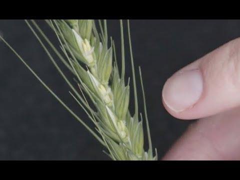 Identifying frost damage in wheat