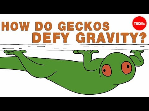 How do geckos defy gravity