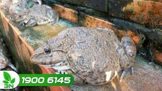 Thủy sản | Nuôi 3 vạn ếch bằng