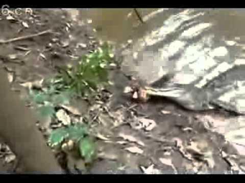 實拍鱷魚吃了電鰻之後,威力驚人!