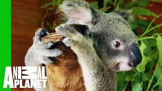 Crikey The Koala Is Ready To Be Released Into The Wild | Dodo Heroes by Animal Planet