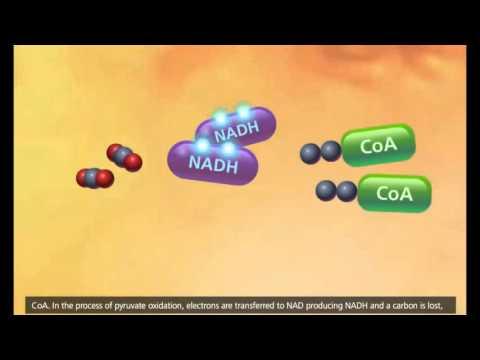la cellula, glicolisi, ciclo krebs, trasporto degli elettroni 3d animato
