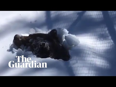 Ranger captures moment grizzly bear emerges from hibernation