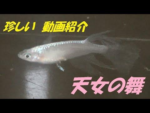 珍しいメダカ紹介動画 天女の舞