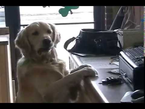 golden retreiver - This is Murphy our golden retriever that helps us run our drive thru beer and coffee company. Located in Michigan Center, MI on Page Ave. Just outside of Jac...