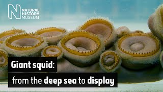 Giant squid: from the deep sea to display