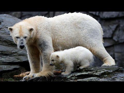 Berlin: Berlins kleine Eisbärin im Tierpark geht erst ...