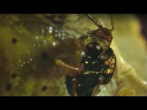 Caterpillar eaten alive by wasps | Natural World | The Secret Garden | BBC