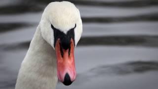 Goodfoul - Swan Lake