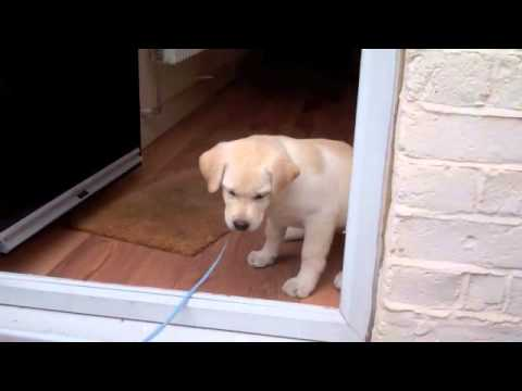 Oscar, our labrador puppy, scared to cross the door threshold for his first walk