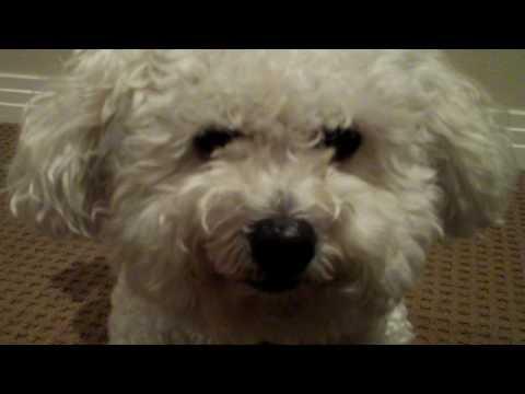 Moose the MaltiPoo – Dog Tricks Part I