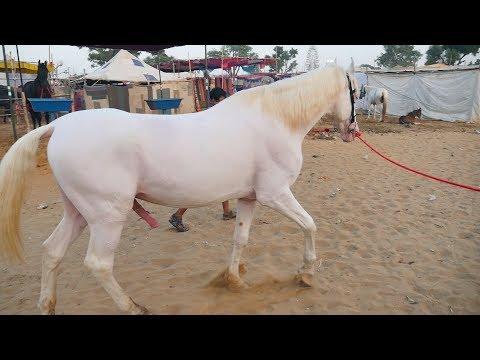 Marwari Horses in Pushkar Mela Video || Marwadi ghoda in pushkar fair, Rajasthan || Horse in India